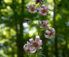 Trkenbundlilie im Wienerwald (winkleredgar) Tags: flora nikon pflanzen edgar winkler trkenbundlilie d7100