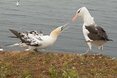 DSC_9607Wenkbrauwalbatros : Albatros a sourcils noirs : Diomedea melanophris : Schwarzbrauen-Albatros : Black-browed Albatross