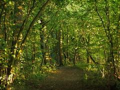 Low sun from the right (vertblu) Tags: summer green forest greens lowsun shadesofgreen inthewoods woodpath greenbeautyforlife vertblu