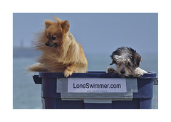 Crew (LoneSwimmer) Tags: sunshine puppy box buttons buster pomeranian tramore guillamene brownstown morkie loneswimme