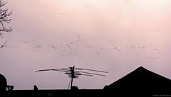 Sandhill Cranes (piano62) Tags: sandhillcranes birdmigration chicago amazing flocks cold winter nikond750 tamron150600mm