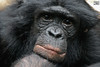 Panisco (siggi nobel) Tags: zoo frankfurt bonobo panisco
