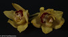 """Yellow Orchids Cymbidium"" (A.J. Boonstra) Tags: yelloworchidscymbidium flowers flower orchidee orchid canon canon70d canoneos ef100mmf28lmacroisusm falconeyesskk2150d falconeyessilverumbrella falconeyessoftboxumbrella"