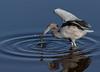 Gotcha! (Gary McHale) Tags: little blue heron feeding fish myakka river state park florida