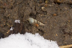 Gastropoda (Vicinum) Tags: gastropoda snails
