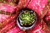 Bromélia (Johnny Photofucker) Tags: bromélia planta plant pianta vegetação vermelho red rosso macro lightroom 60mm