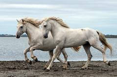 2016 Two Camargue Stallions (5) (maskirovka77) Tags: saintlaurentdaigouze languedocroussillonmidipyrén france languedocroussillonmidipyrénées fr stallion stallions whitehorse whitehorses whitestallion whitestallions createaway photoworkshop