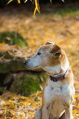 Lumière d'automne (Lylise) Tags: automne fall outono chien cão dog yellow leaf leaves feuilles folhas
