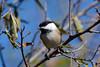 Black-capped Chickadee (av8s) Tags: blackcappedchickadee chickadee perchingbirds songbirds birds nature wildlife photography nikon d7100 sigma 120400mm nescopeckstatepark pennsylvania pa