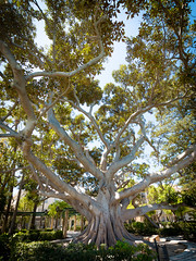 Cadiz (Cádiz), Spain (Ravinson's Photography) Tags: tree branches hugetree treewithbranches bigtree leaves