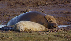 Me and my Baby (Kerry711) Tags: sony a77 alpha 16300mm tamron lens seal pup wild wildlife animal donna nook near saltfleet east coast england