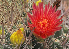 Ferocactus wislizenii, with red flowers (l.e.violett) Tags: cactus flowers cultivated ferocactus wislizenii arizona pse macro