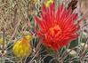 Ferocactus wislizenii, with red flowers (l.e.violett) Tags: cactus flowers cultivated ferocactus wislizenii arizona pse macro