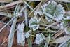 """Saupoudrage de givre (Brigitte .. . """"Tatie Clic"""") Tags: 201701077 hiver janvier herbe givre feuilles sansretouche lotetgaronne aquitaine francesudouest"""