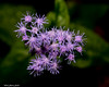 The Purple Stars (that_damn_duck) Tags: nature petals blooming