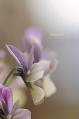 * (miyunico) Tags: sumile light bokeh flowers purple soft スミレ ef ef100mm f28l macro is usm