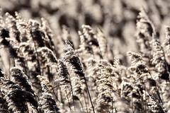 Winter sunshine on the reeds. (pstone646) Tags: reeds grasses marshland plants nature sunshine dungeness kent dof bokeh muted