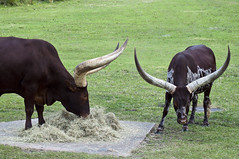 Ankole-Watusi (fisherbray) Tags: fisherbray usa unitedstates florida orangecounty orlando baylake disney waltdisneyworld wdw disneyworld nikon d5000 animalkingdom themepark kilimanjarosafaris ankolewatusi ankole watusi ankolelonghorn sangacattle