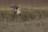 R17_7658 (ronald groenendijk) Tags: cronaldgroenendijk 2017 asioflammeus rgflickrrg animal bird birds birdsofprey groenendijk nature natuur natuurfotografie outdoor owl owls ronaldgroenendijk roofvogels shortearedowl velduil vogel wildlife