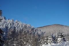 Vegetation (michaelmueller410) Tags: snow schnee bäume hügel tannen fichten lärchen spruce larch blue sky winter cold