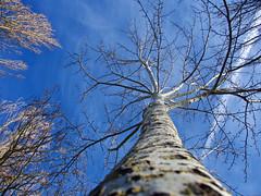 Gracias a la vida (Luicabe) Tags: airelibre aìrbol cabello cieloazul enazamorado exterior luicabe luis naturaleza nube planta rama yarat1 zamora ngc árbol