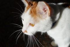 Whiskers aglow (puckish) Tags: jim