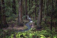 a river runs through it (pixelmama) Tags: andersonvalley california mendocinocounty montgomerywoodsstatenaturalreserve pixelmama ukiah stream redwoods ferns green ariverrunsthroughit
