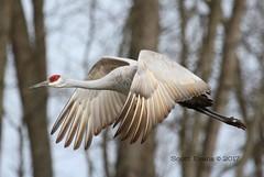 "Sandhill in Flight (Scott ""Burns"" Evans) Tags: sandhill crane scott evans ewing bottoms jackson county indiana winter 2017 february avian bird photography nature"