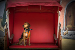 """Lilli Holiday"" (Blende1.8) Tags: dog hund segigio strandkorb beachchair red rot jagdhund fun portrait sony alpha ilce7m2 zeiss 55mm sonnar5518za animal haustier hündin pet carstenheyer wuppertal"