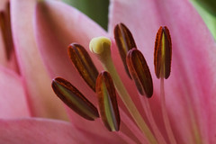 Lily (Mike House Photography) Tags: lily flower pink stamen filament anther pollen stigma style plant nature