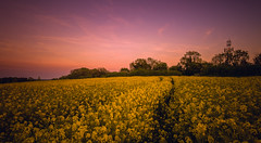 Summers Golden Glow (spiderstreaky) Tags: hill sunset light shadows sky fresh plant field lightroom season natural british sun sundown bright fields hedge high red sunshine crops footpath flowers cotswold track yellow d7100 english wildlife beauty crop detail clear flower nikon blue walk golden beautiful nature pollen clouds warwickshire abstract cotswolds shadow countryside exposure landscape