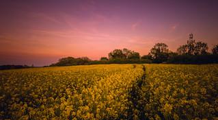 Summers Golden Glow