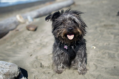 Addy at the Beach (Possum Inc.) Tags: dog rescue adopted rescuedog
