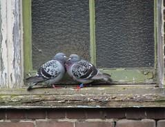 Together (Elisa1880) Tags: window netherlands birds leiden pigeons nederland vogels raam duiven haarlemmerweg