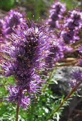 Spiked Beauty (jennneal818) Tags: flowers mountains nature beauty outdoors purple adventure backpacking yellowstone wildflowers wyoming treeline range wy absaroka