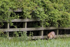 Red fox. (clicka13) Tags: red wild animal canon mammal wildlife north fox tyneside