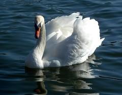 Stolzer Schwan (p_jp55 (Jean-Paul)) Tags: reflection bird animal swan reflet luxembourg schwan spiegelung oiseau luxemburg cygne tier mosel moselle saarlorlux remich musel ltzebuerg rimech