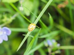 Orange Ladybird (Mike Prince) Tags: england westsussex beetles wakehurstplace orangeladybird insectsandspiders halyziasedecimguttata