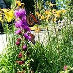 Urban Monarch Garden thumbnail