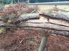 A portion of the lightning damage (WSDOT) Tags: tree vancouver fire i5 maintenance captain roberts department fell th wsdot