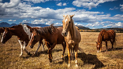 Horses in Grand Teton (Photo Alan) Tags: blue sky horses house tree classic field animal canon square landscape nicole outdoor many farm explore american sunflower mountaineering destination format provence wilderness grandteton tournesol clould gamewinner explored faton canon2470mmf28 canon5dmarkii titole innorthwestwyoming