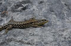 wall lizard, Podarcis muralis (willjatkins) Tags: dordogne lizard lizards podarcis muralis walllizard podarcismuralis frenchwildlife wildlifeoffrance frenchreptiles amphibiansandreptilesoffrance frenchreptilesandamphibians reptilesoffrance wildlifeofthedordogne reptilesofthedordogne frenchherpetofauna lizardsoffrance lizardsofthedordogne