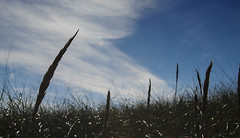 PACIFIC NORTHWEST 30 (Detective Steve) Tags: blue sky plants nature grass silhouette clouds bluesky pacificnorthwest oceanshores natureycrap