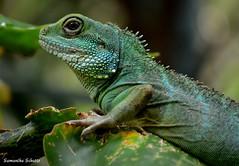 Chinese water dragon, Artis (Samantha Schutte) Tags: amsterdam animals zoo nikon dieren artis dierentuin d3200