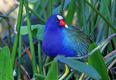 beautiful shades (Dianne M.) Tags: purplegallinule nature swamp lake outside purple green leaves leesburg florida