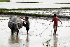 Country boys and buffalo (-clicking-) Tags: streetphotography streetlife children childhood childish childlike innocence innocent buffalo life dailylife country countrylife vietnam