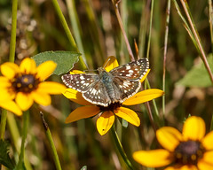 Pyrgus communis (common checkered-skipper) on Rudbeckia fulgida (black-eyed Susan) (tgpotterfield) Tags: mtcuba newcastlecountyde mtcubacenter rudbeckiafulgida rudbeckia heliantheae helianthodae asteroideae asteraceae blackeyedsusan pyrguscommunis spreadwingskippers pyrginae hesperiidae lepidoptera insects commoncheckeredskipper hockessin delaware usa