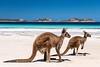 Kängurus, Lucky Bay (bayernphoto) Tags: australien känguru kangaroo western australia westaustralien lucky bay roo cape le grand np national park nationalpark beach strand traumstrand dream beautiful süs 2 zwei animal tiere türkis turquoise water meer sea