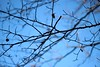 Transitions ( 10 ) : Winter (Snorkle-suz) Tags: branches twigs tree plant nature dof blue sky winter canoneos600d canoneosrebelt3i canoneoskissx5 50mm 500mm silhouette outdoor outside newzealand nz aotearoa steams