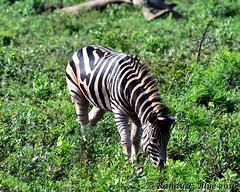 Hluhluwe-Imfolozi 005 (REBlue) Tags: southafrica kwazulunatalprovince hluhluweimfolozipark burchellszebra